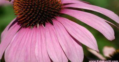 KakoLeciti echinacea