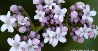 kakoleciti odoljen-biljka