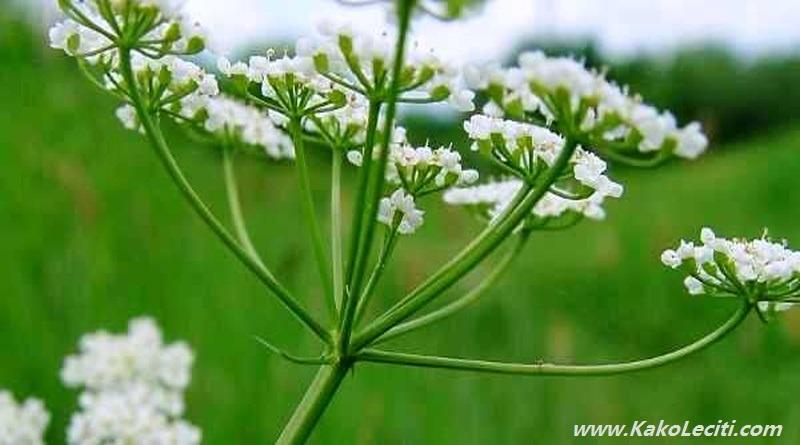 KakoLeciti krasuljica-biljka