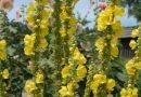 DIVIZMA Verbascum phlomoides Fam Scrophulariaceae