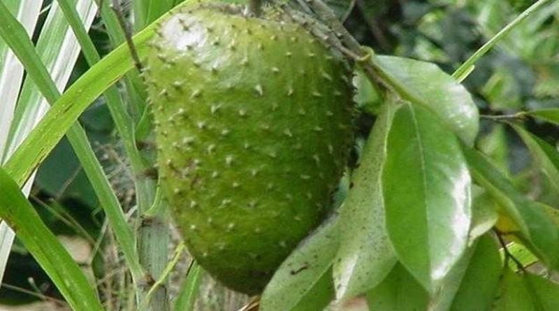 graviola plod kakoleciti