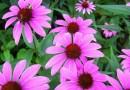 Ljekovita biljka – Pupavica – Smola potiče jačanje imunološkog sustava u tijelu zahvaljujući svojim antiseptičkim i protugljivičnim svojstvima